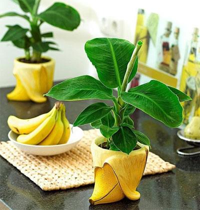 Банан дома