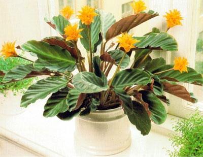Calathea plants for sale