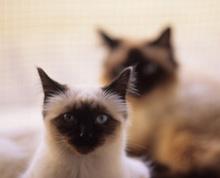 священная кошка