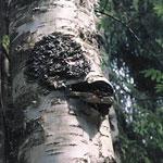 http://www.inmoment.ru/img/chaga.jpg