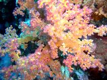 Что такое коралл