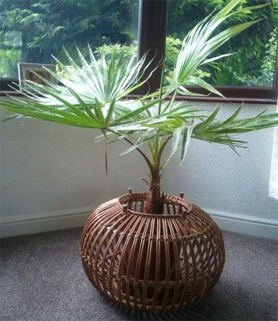 Пальма вашингтония  уход в домашних условиях фото
