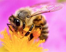 польза пчелоужаления