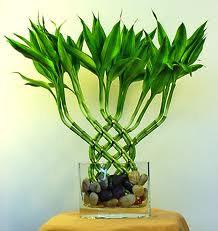 Декоративный бамбук в домашних условиях уход Flowery-Blog 30