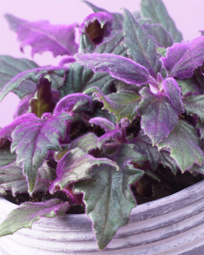 Гинура цветок уход в домашних условиях фото 21