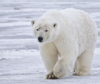 Праздник 27 февраля – Международный день полярного медведя