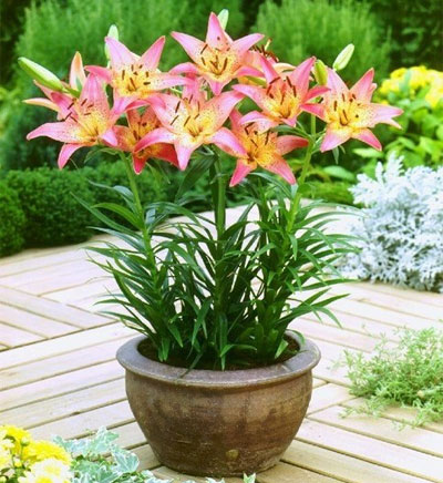 Выращивание лилий в домашних условиях: в открытом грунте и