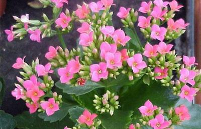 Комнатные цветы полезные для дома