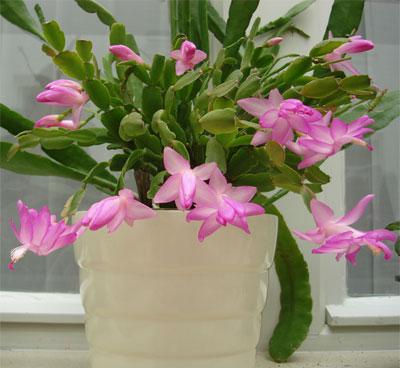 цветок зигокактус фото